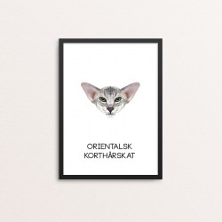 Plakat: Orientalsk korthårskat